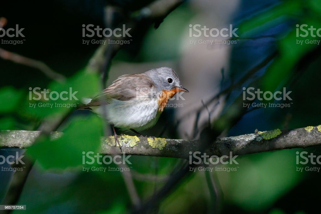 Red-breasted Flycatcher (Ficedula parva). - Royalty-free Aberto Foto de stock