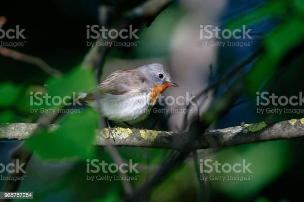 Redbreasted Flycatcher - Fotografias de stock e mais imagens de Aberto