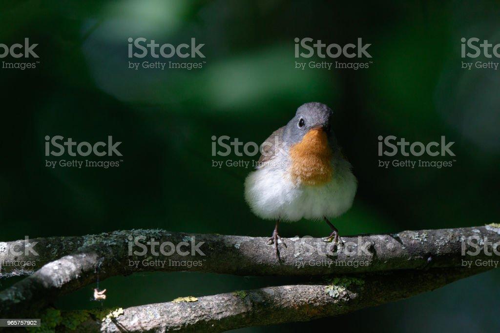 Kleine vliegenvanger (Ficedula parva). - Royalty-free Boom Stockfoto