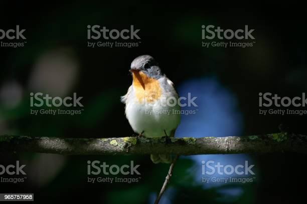 Redbreasted Flycatcher Stock Photo - Download Image Now