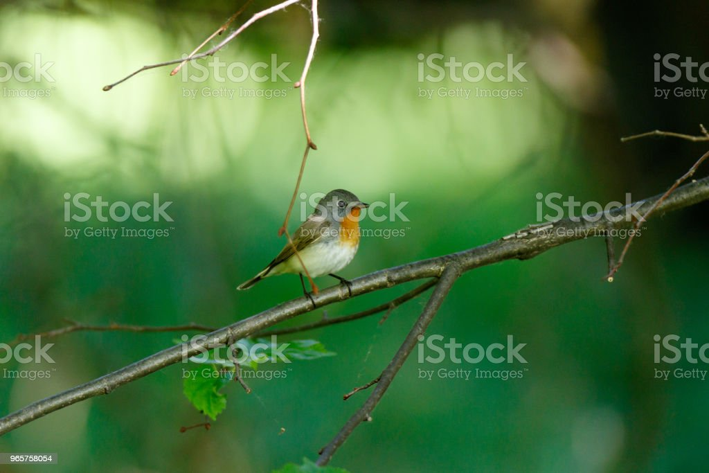 Red-breasted Flycatcher (Ficedula parva). - Royalty-free Animal Stock Photo