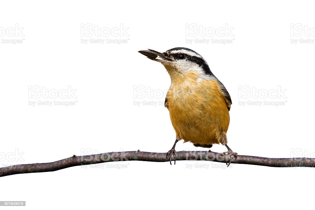 red-breasted nuthatch holding seed stock photo