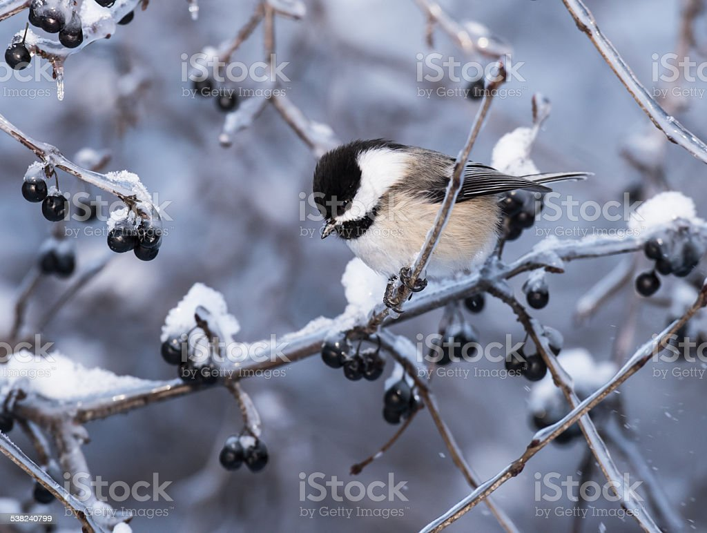 Red-breasted Nuthatch  in Winter stock photo