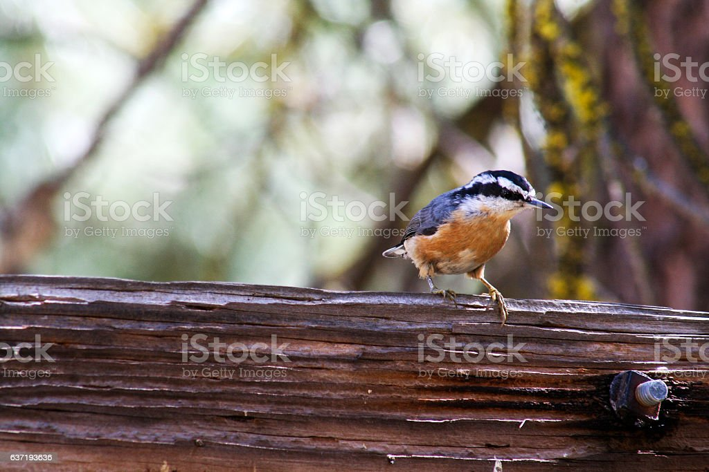 Red-breasted Nuthatch stock photo