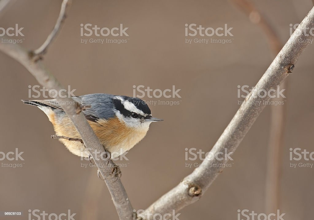 Red-breasted Nuthatch, Sitta canadensis royalty-free stock photo