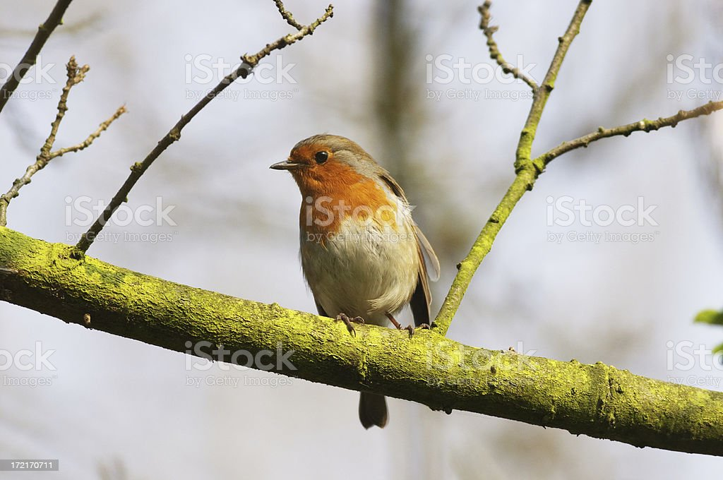 Red-breasted robin Erithacus rubecula perched on branch stock photo