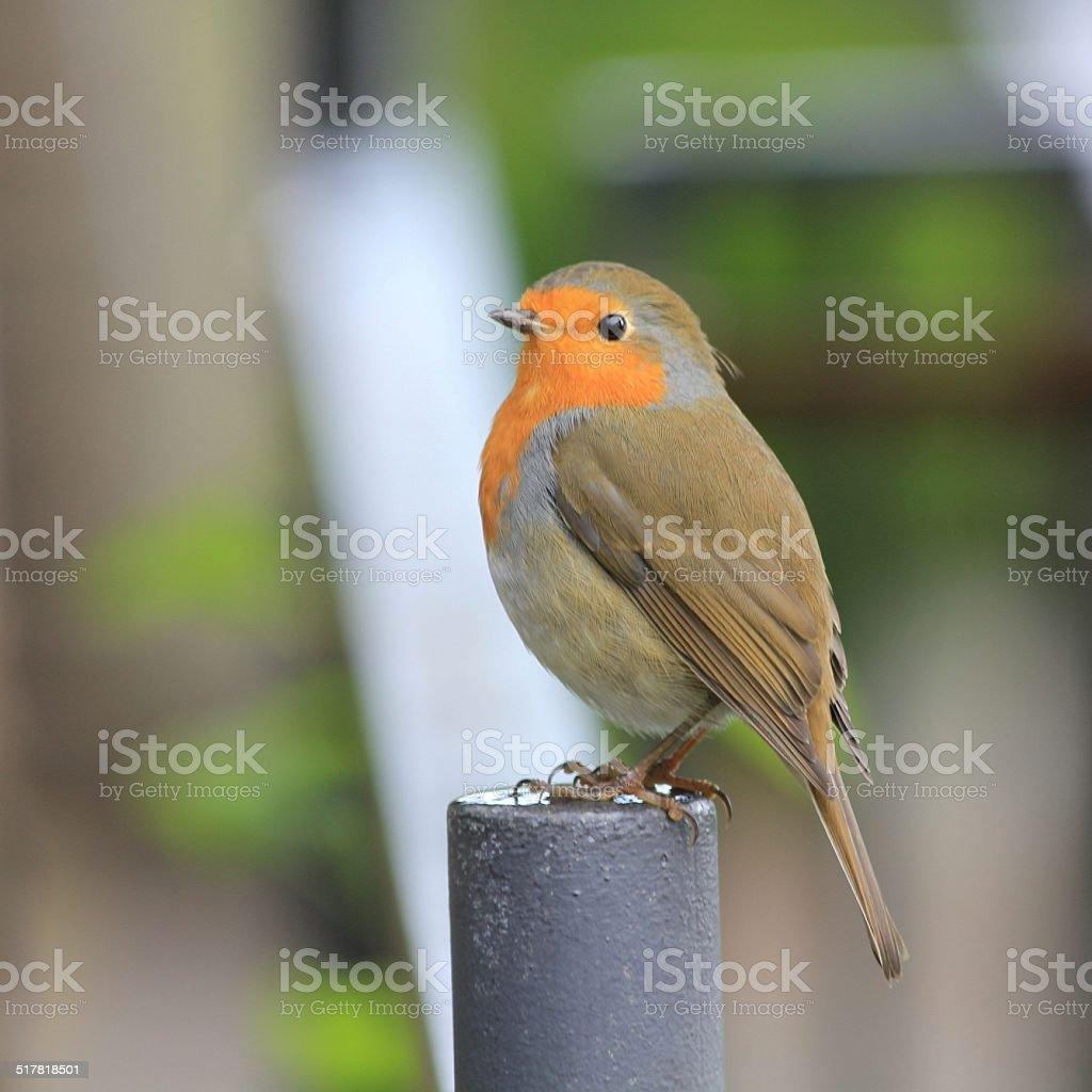 Red-Breasted Robin - Lizenzfrei Feder Stock-Foto