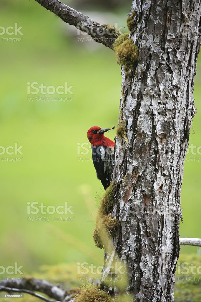 Red-breasted Sapsucker (Sphyrapicus ruber) with insect in beak. stock photo