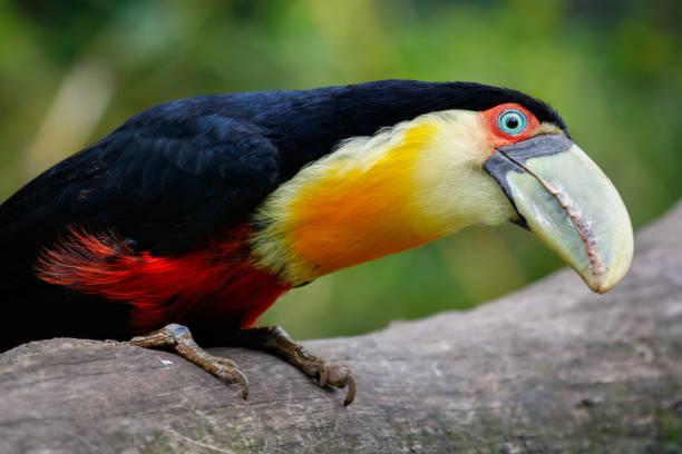 Red-breasted Toucan Blick in die Kamera – Foto
