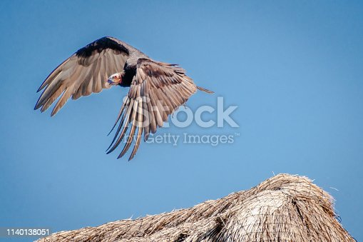 Red-breasted Vulture, vulture (cathartis aura) in flight