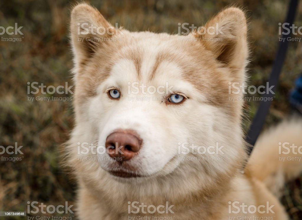 Red/brown and white malamute dog looking at camera stock photo