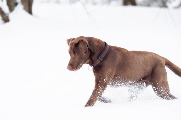 A red-brown Labrador Retriever in the snow stock photo