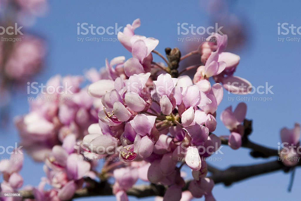 Redbud tree blossom royalty-free stock photo