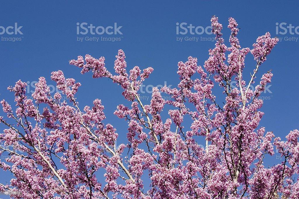 Redbud tree blossom royalty-free stock photo