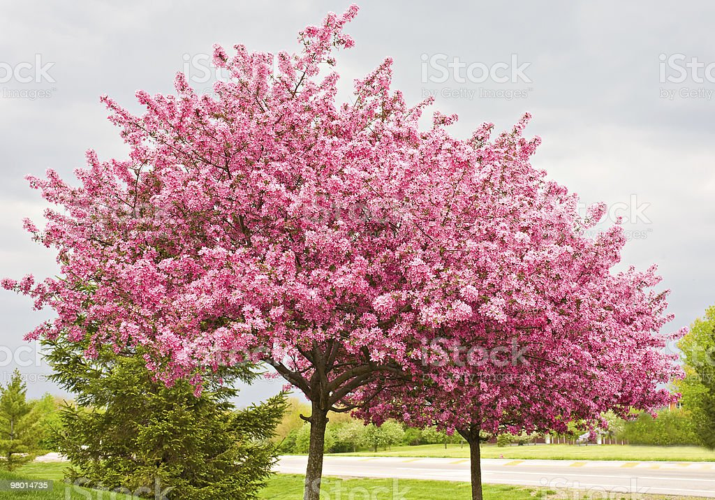 Redbud Trees stock photo