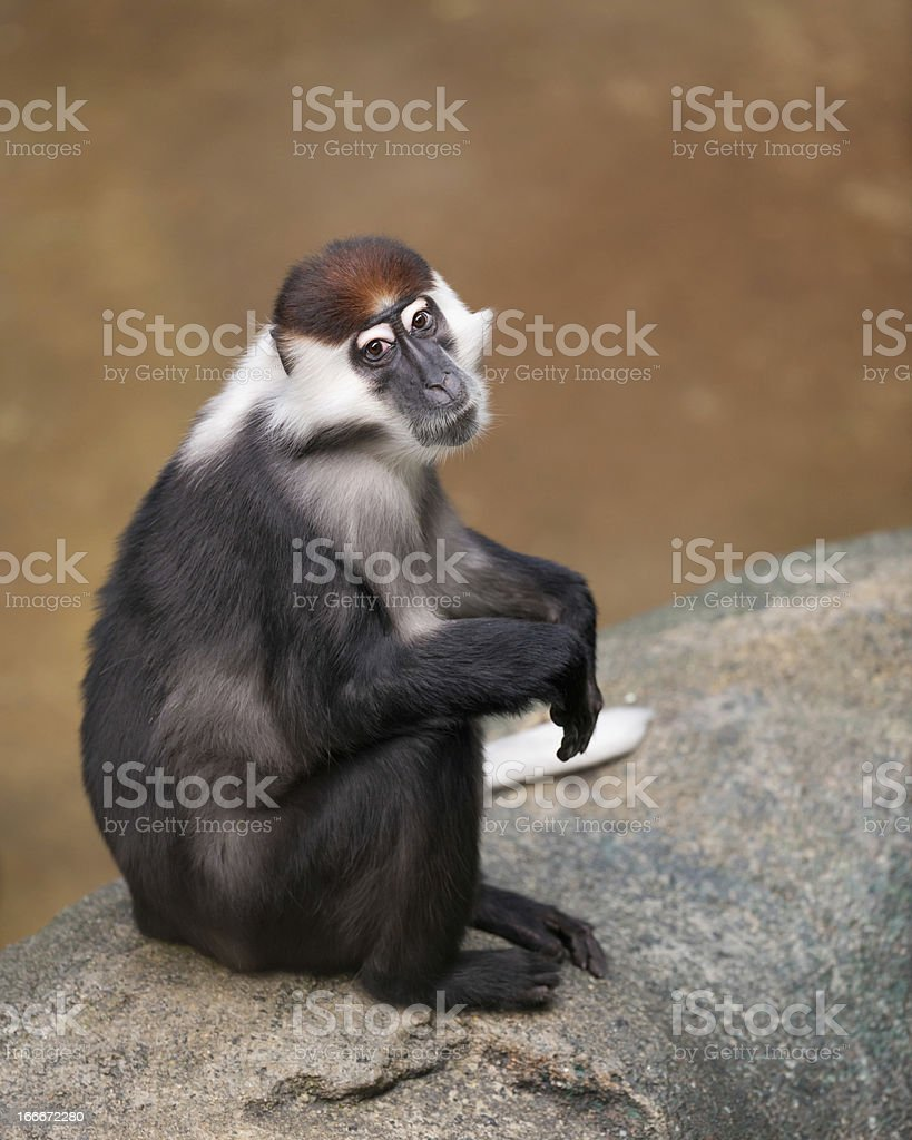 Red-capped Mangabey royalty-free stock photo