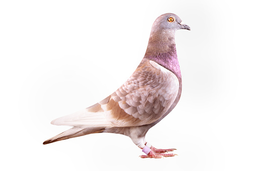 red-checker homing pigeon isolated white background