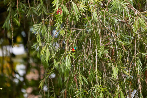 Red-chested sunbird hanging in a tree stock photo