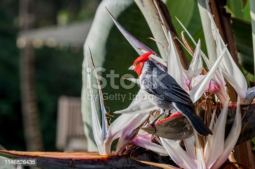 Red-crested cardinal has drink of water from bird of paradise, Kauai, Hawaii