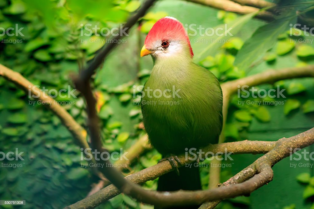 red-crested turaco (Tauraco erythrolophus) in natural surroundings stock photo