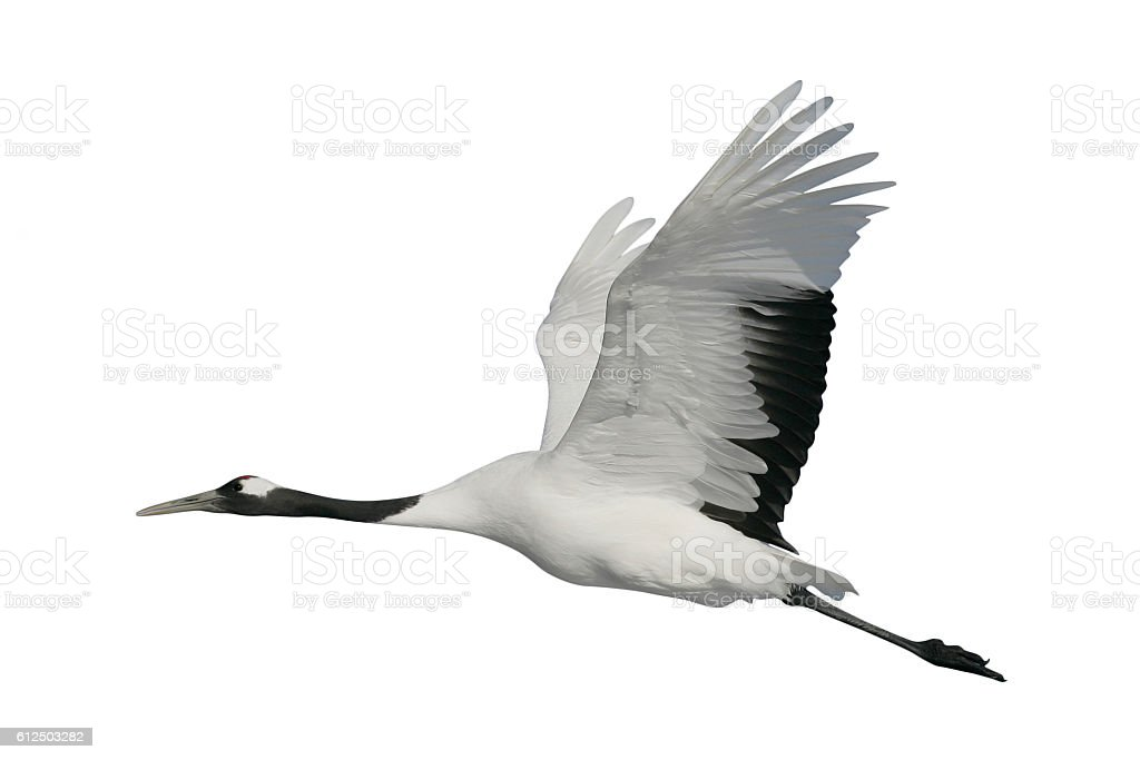 Red-crowned or Japanese crane, Grus japonensis, stock photo