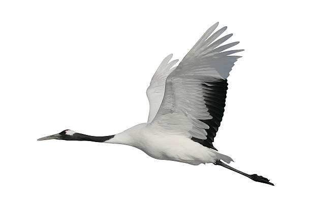 red-crowned or japanese crane, grus japonensis, - crane bird stock pictures, royalty-free photos & images