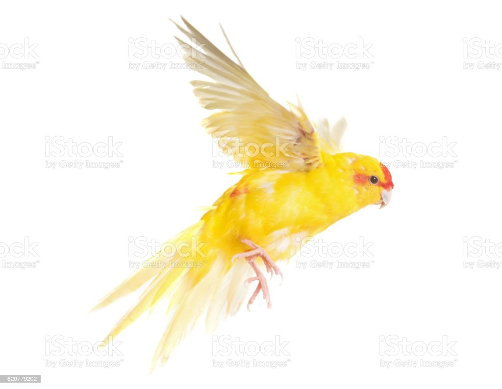 Red-crowned parakeet stock photo