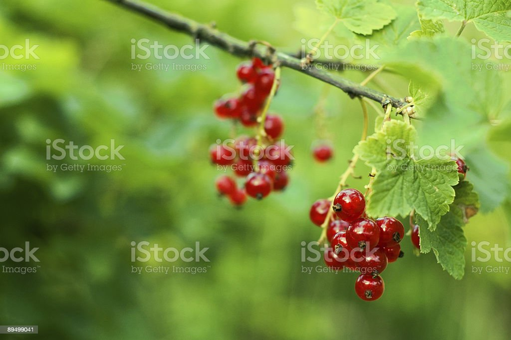 redcurrant royalty-free stock photo