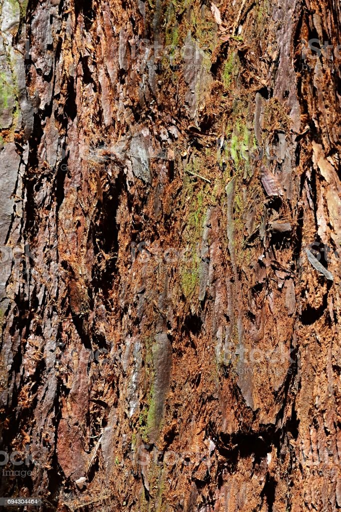 Reddish bark texture of giant sequoia sequoiadendron giganteum slighly covered with moss and spider webs stock photo