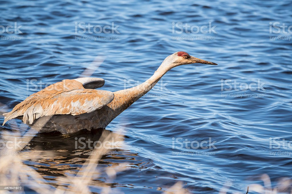 Reddish crane in the lake stock photo