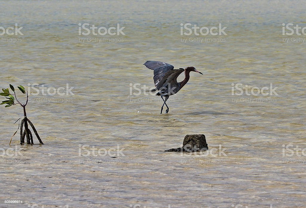 Reddish Egret Shadow Hunting In Tidal Waters Stock Photo & More
