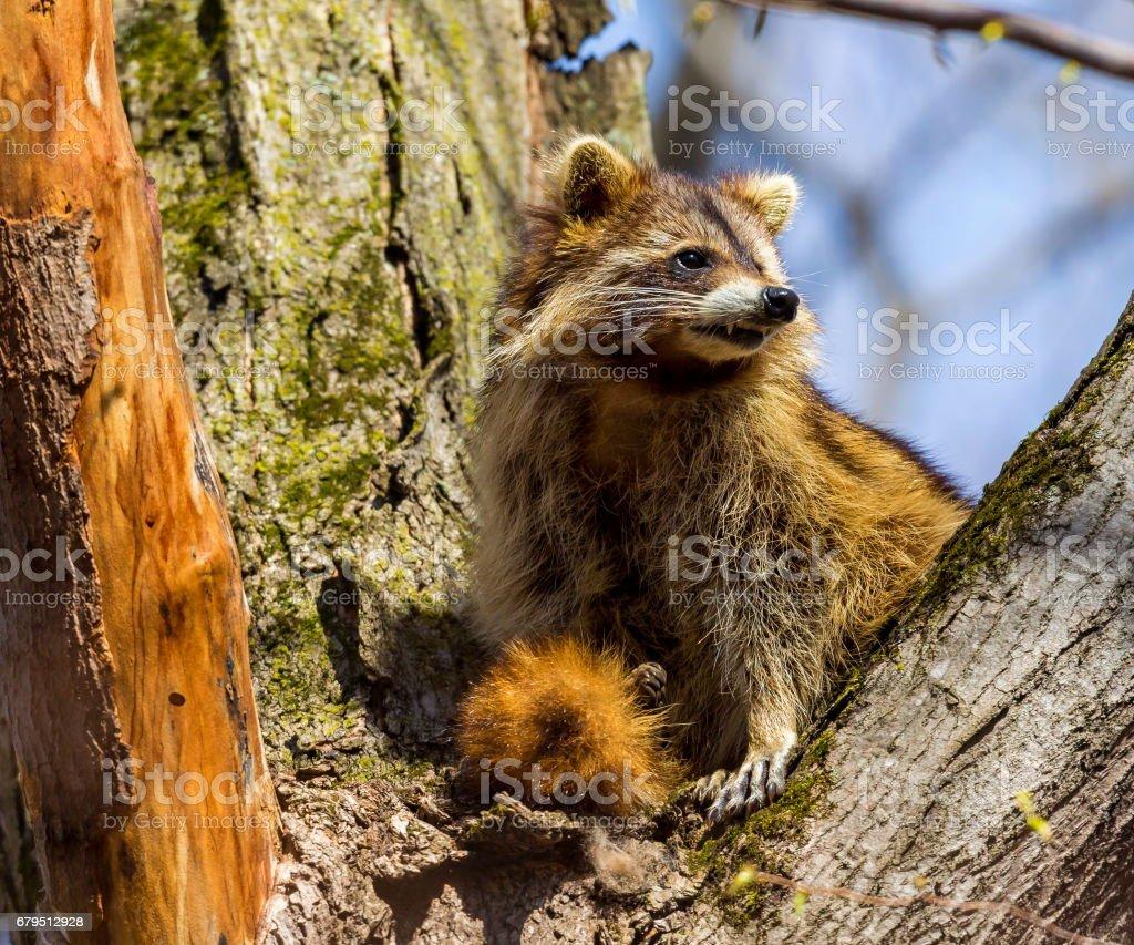 Reddish furred variety of Raccoon. royalty-free stock photo