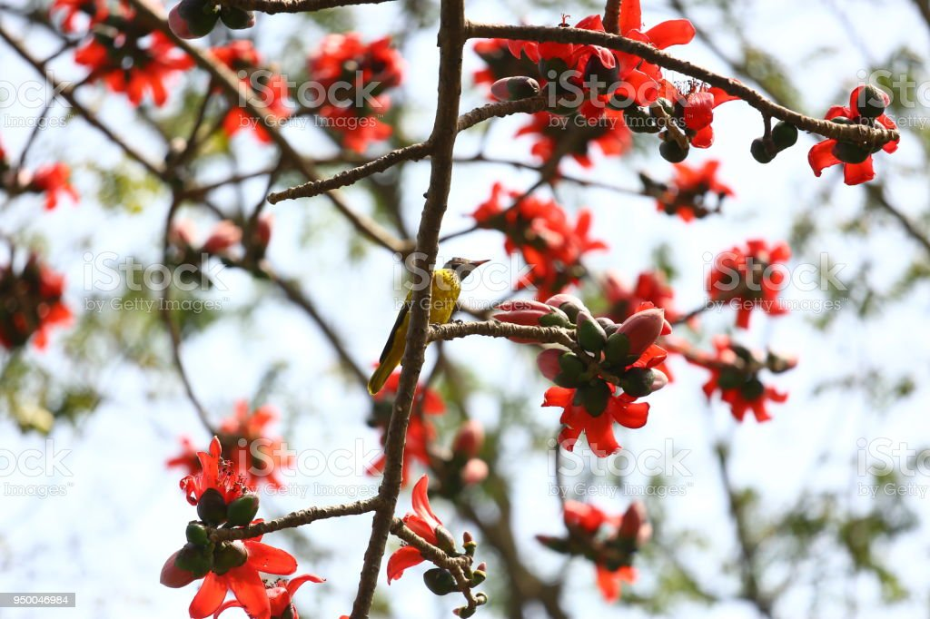 Reddish Shimul (Red Silk Cotton) flower tree at Munshgonj, Dhaka, Bangladesh. stock photo