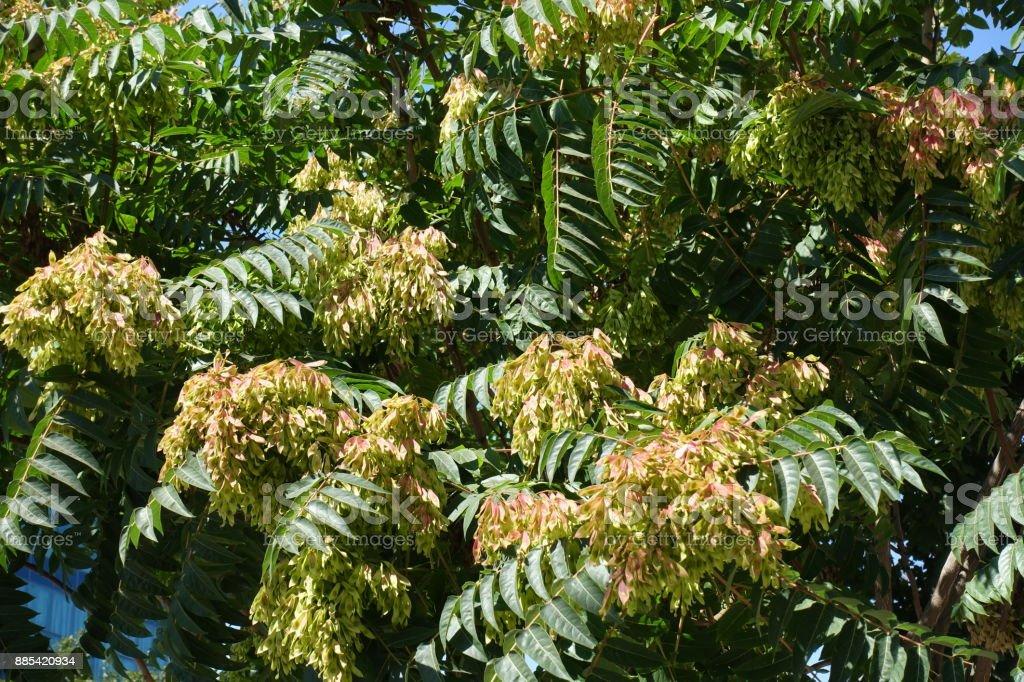 Rötlich gelben Samaras unter Blättern GГ¶tterbaum altissima – Foto