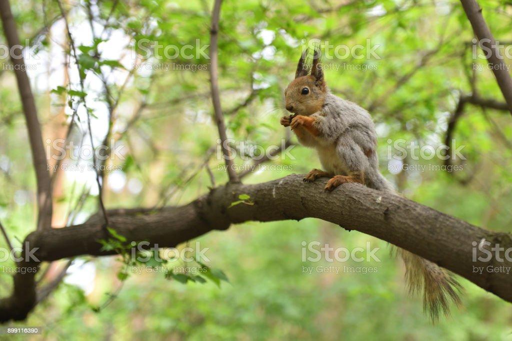 Ardilla peluda rojizo alimentación. Ardilla de árbol comer nueces. Pequeño roedor con su comida. Desenfoque de movimiento ligero. - foto de stock