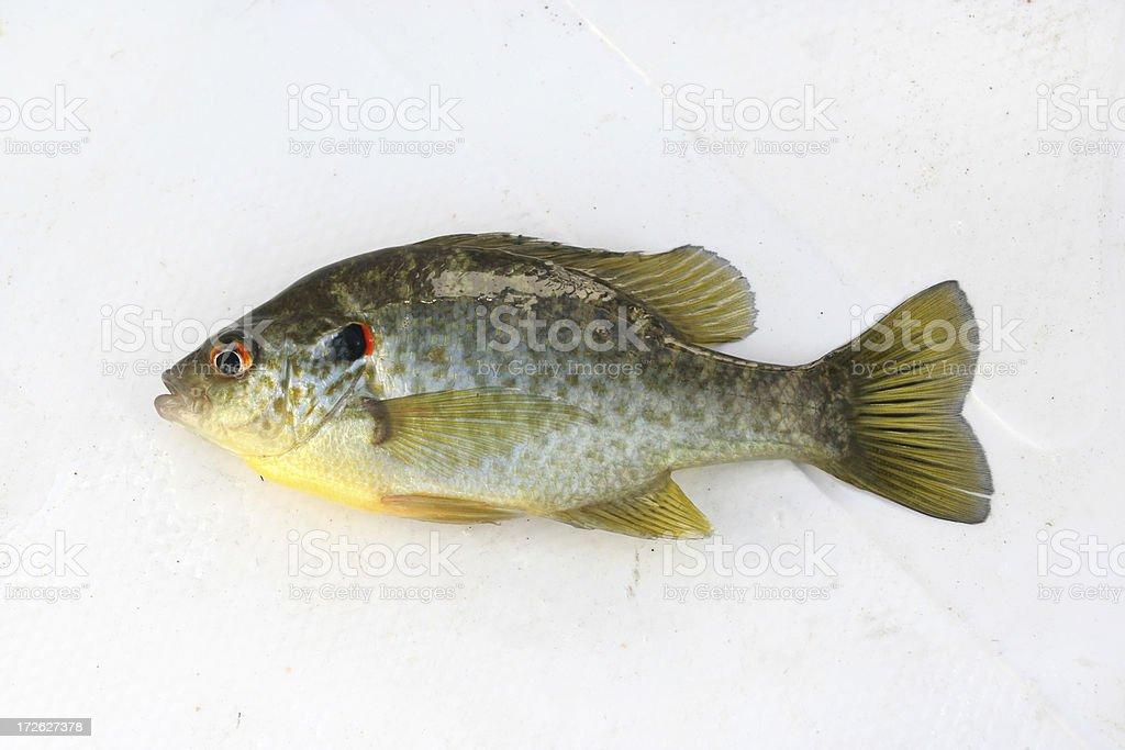 Redear Sunfish stock photo