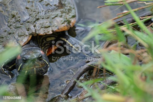 Red-eared slider at Cox Arboretum in Dayton, OH, United States
