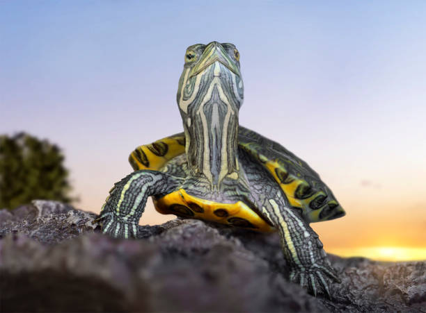 Red-eared slider close-up Red-eared tortoise close-up on stones on a sunset background. caenorhabditis elegans stock pictures, royalty-free photos & images