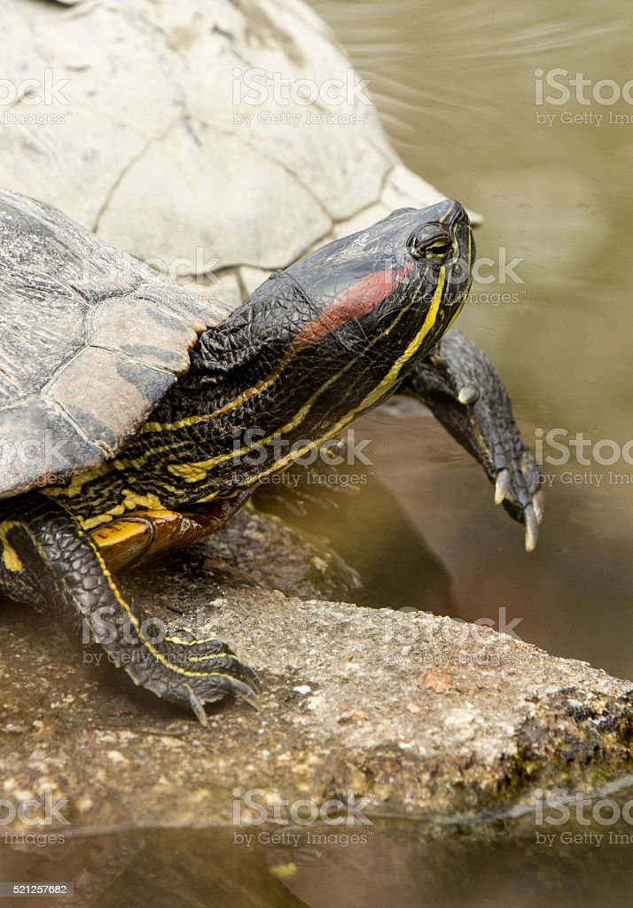 Red-eared Slider in Kyoto, Japan stock photo