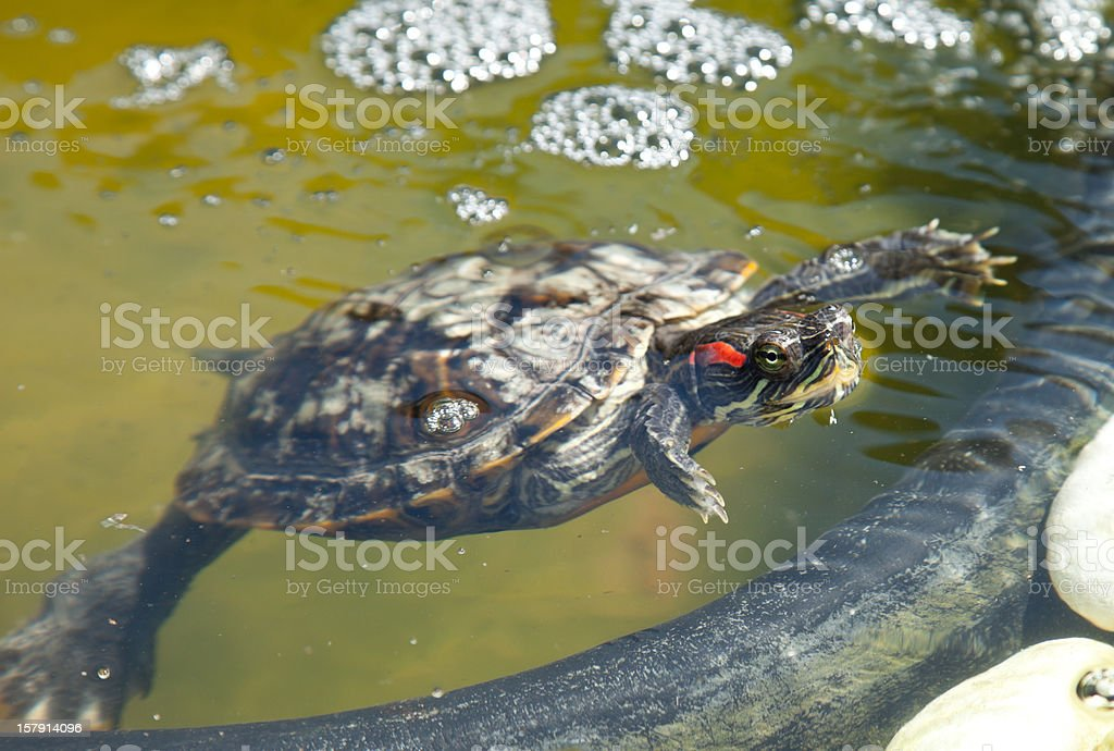 Red-eared slider turtle in a pont stock photo