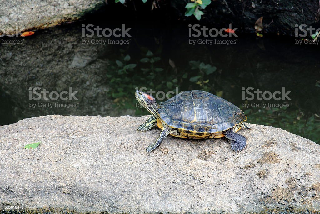 Red-Eared Slider Turtle Peered On the Rock Over Pond stock photo