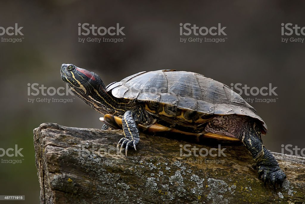 Red-eared Slider Turtle royalty-free stock photo