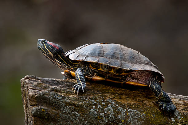 Red-eared Slider Turtle stock photo