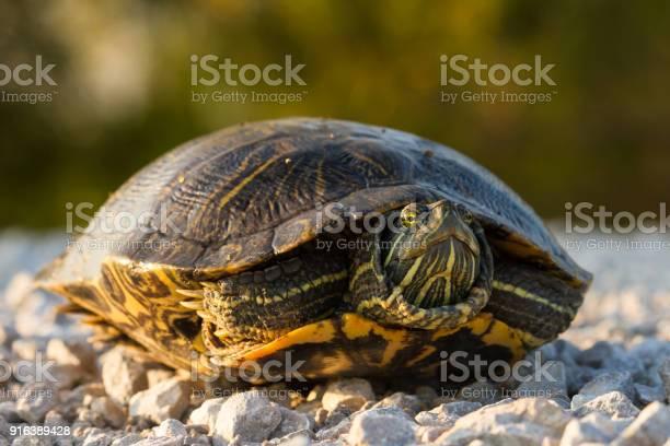 Redeared slider turtle picture id916389428?b=1&k=6&m=916389428&s=612x612&h=2xxrwtpxyid8xiqfocd7udmetqli ockrshfioejf90=
