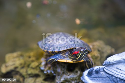The red-eared slider (Trachemys scripta elegans) is a semiaquatic turtle belonging to the family Emydidae.