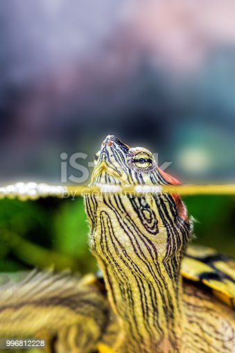 istock Red-eared sliders stuck her head out of the water. Turtle in natural habitat 996812228