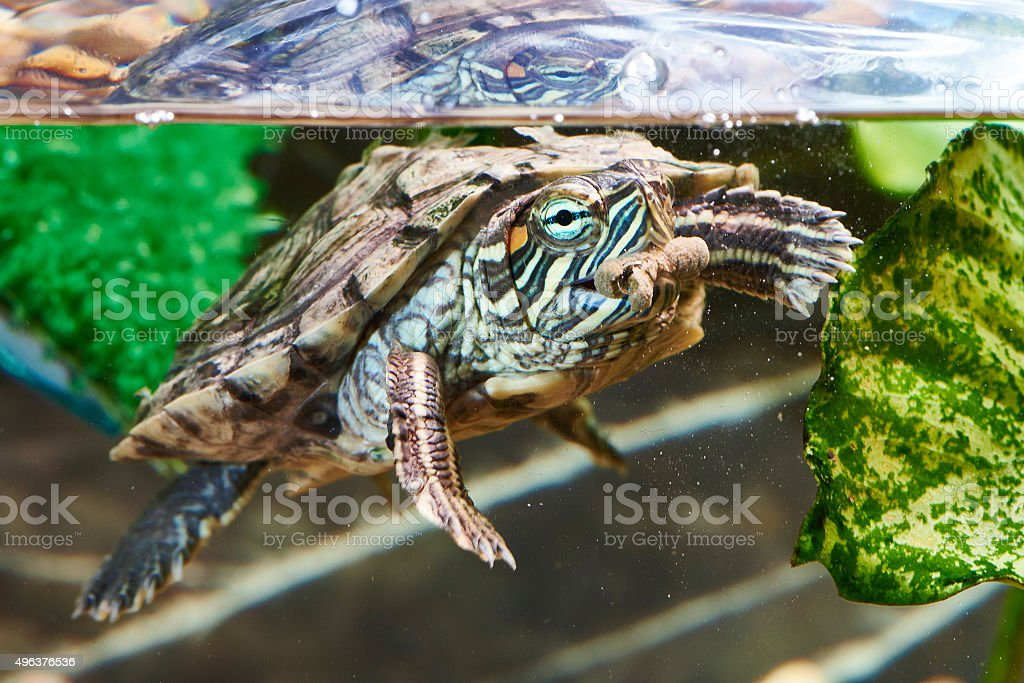 Red-eared turtle have dry feed Red-eared turtle have dry feed in an aquarium 2015 Stock Photo