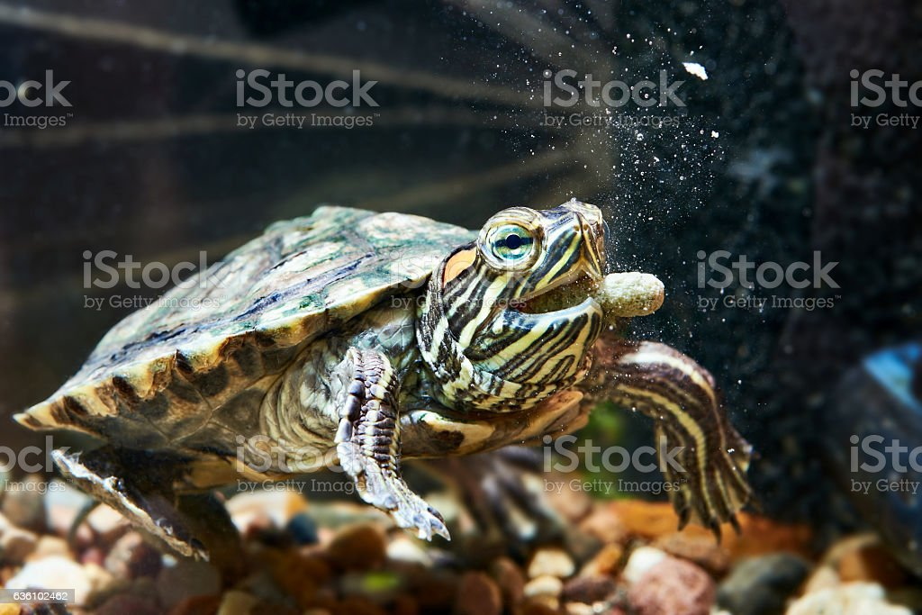 Red-eared turtle have dry feed Red-eared turtle have dry feed in an aquarium Amphibian Stock Photo