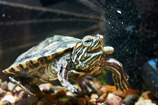 Redeared Turtle Have Dry Feed Stock Photo - Download Image Now