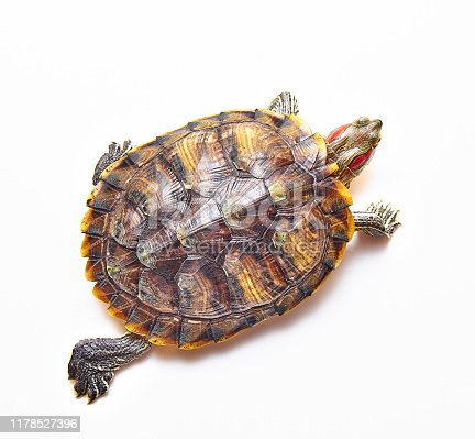 Red-eared turtle or yellow-Bellied (lat. Trachemys scripta) species of turtles from the family of American freshwater turtles. On white isolated background.